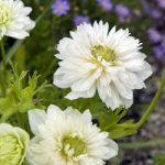 Mount Everest Anemone coronaria – 25 bulbs