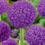 Ambassador Allium – 1 bulb