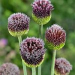 Forelock Allium – 1 bulb