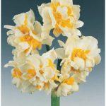 Constantinopolitanus Paperwhites – 10 bulbs
