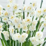 Erlicheer Paperwhites – 10 bulbs