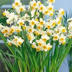 Chinese Sacred Lily Paperwhites – 10 bulbs