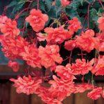 Salmon Hanging Basket Begonia – 3 tubers