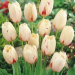 Carrousel Fringed Tulip – 10 bulbs