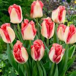 Lingerie Fringed Tulip – 10 bulbs