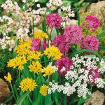 Mixed Allium – 5 bulbs
