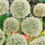 White Giant Allium – 3 bulbs