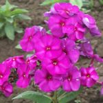 Nicky Tall Summer Phlox – 3 root divisions