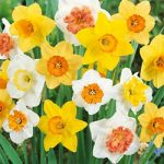 Mixed Large Cup Daffodils – 10 bulbs