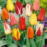 Mixed Greigii Tulips – 10 bulbs
