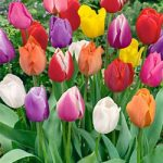 Mixed Single Late Tulips – 10 bulbs