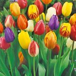 Mixed Single Early Tulips – 10 bulbs