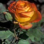 Pinata Climbing Rose – 1 bare root plant