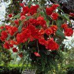 Scarlet Hanging Basket Begonia – 3 tubers