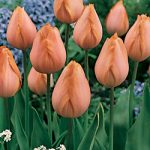 Apricot Beauty Single Early Tulip – 10 bulbs