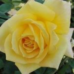 Oregold Hybrid Tea Rose – 1 bare root plant