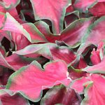 Florida Red Ruffles Lance Leaved Caladium – 3 tubers
