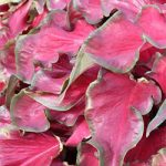 Red Frill Lance Leaved Caladium – 3 tubers