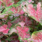 Lance Whorton Lance Leaved Caladium – 3 tubers