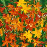 Mixed Crocosmia – 5 bulbs