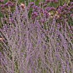 Little Spire Russian Sage – 10 root divisions