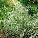 Overdam Calamagrostis Grass – 3 plugs