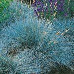 Elijah Blue Fescue Grass – 3 plugs