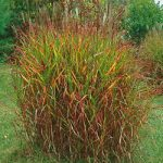 Purpurascens Flame Grass – 3 plugs