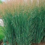 Heavy Metal Panicum Grass – 3 plugs