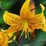 Leichtlinii Tiger Lily – 5 bulbs