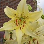 Sweet Surrender Tiger Lily – 5 bulbs