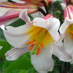 Regale Album Trumpet Lily – 5 bulbs