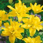 Fata Morgana Double Asiatic Lily – 5 bulbs