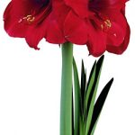 Miracle® Symphony Amaryllis – 1 bulb