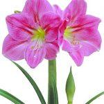 Candy Floss® Symphony Amaryllis – 1 bulb