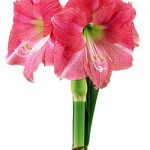 Hollywood® Symphony Amaryllis – 1 bulb