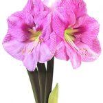 Blushing Bride® Symphony Amaryllis – 1 bulb