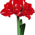 Rock n' Roll® Symphony Amaryllis – 1 bulb
