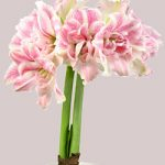 First Love® Symphony Amaryllis – 1 bulb