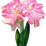 Rozetta® Symphony Amaryllis – 1 bulb