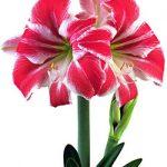 Carnival® Symphony Amaryllis – 1 bulb