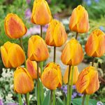 Beauty of Apeldoorn Darwin Hybrid Tulip – 10 bulbs
