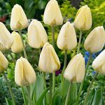 Ivory Floradale Darwin Hybrid Tulip – 10 bulbs