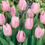 Candy Prince Single Early Tulip – 10 bulbs