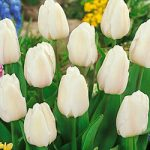 White Marvel Single Early Tulip – 10 bulbs