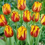 Helmar Single Late Tulip – 10 bulbs