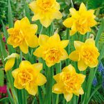Dick Wilden Double Daffodil – 10 bulbs