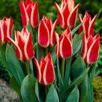 Pinocchio Greigii Tulip – 10 bulbs