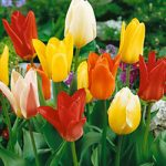 Mixed Fosteriana Tulip – 10 bulbs