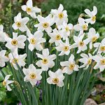 Recurvus Small Cup Daffodil – 10 bulbs